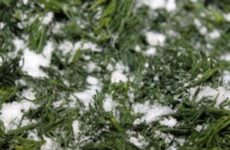 Как засолить укроп на зиму