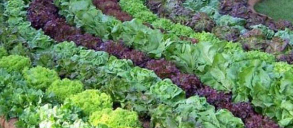 Виды листового салата, только самые полезные