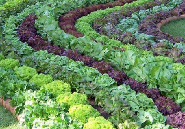 виды листового салата