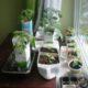 Огород на подоконнике: выращиваем зелень