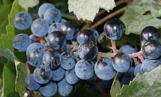 Консервируем виноград на зиму