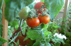 Как вырастить помидоры дома