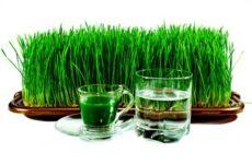 Как прорастить пшеницу на подоконнике
