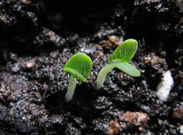 ростки базилика