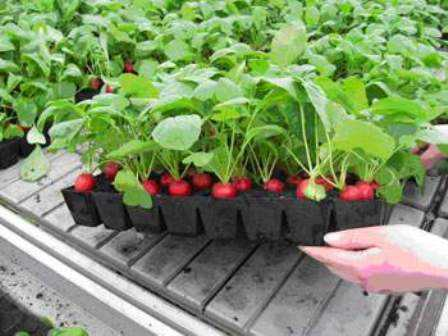 Как вырастить редис на подоконнике, редис в лоточках
