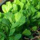 Как вырастить листовую горчицу в домашних условиях