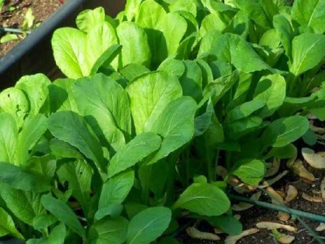 gorchica - Как вырастить листовую горчицу в домашних условиях