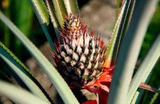 Как посадить ананас на подоконнике дома