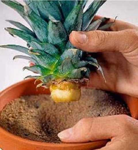 растим ананас дома